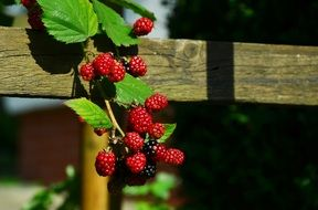 blackberries berries fruits