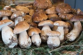 basket of porcini