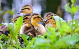 cute little ducklings playing in grass