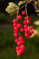 red cranberries on a small green branch
