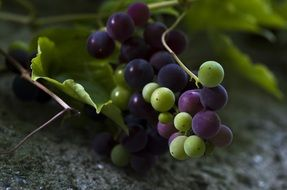 grapes, green, blue ,fruit ,fruits,vine,grapevine