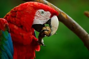 red macaw parrot eating a nut
