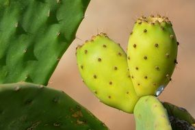 close up image of small but prickly cacti