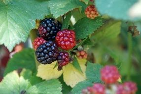 ripe and unripe blackberries on a branch