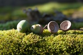 acorns on a bunch of moss