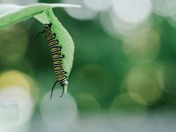 striped caterpillar on a green leaf