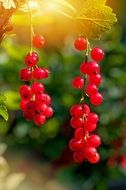 bunch of red currant in the sun light