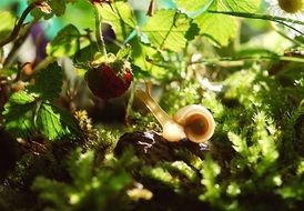 snail crawling to a strawberry spring