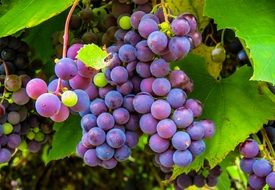 autumn ripe grapes vine fruit