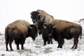 three bisons standing on the snow