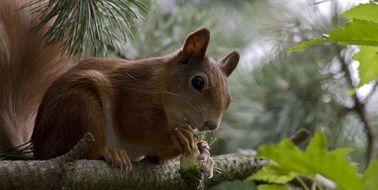 squirrel on a branch of a coniferous tree