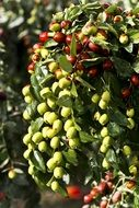 jujube green dates fruit tree