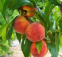 ripe orange and red peaches on a large branch