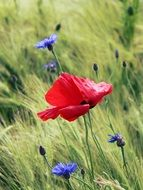 Red poppies and blue flowers on a meadow