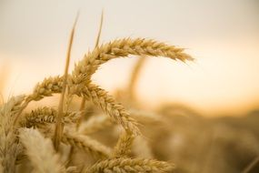 closeup picture of wheat harvest at the sunset