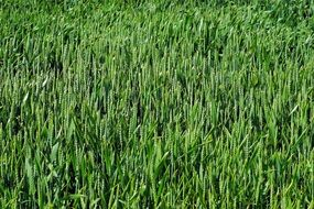 green yuong wheat field