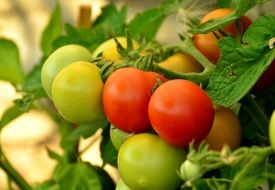ripe and unripe red and green tomatoes in the garden with herbs