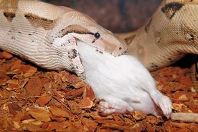boa eating a mouse