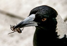 insect in its beak of australian magpie