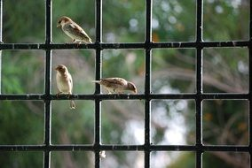 sparrows sitting on a fence