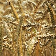wheat agriculture harvest