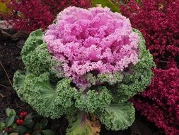colourful ornamental cabbage leaves kraus