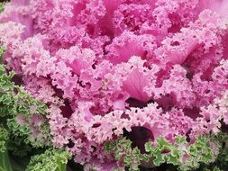 pink ornamental cabbage