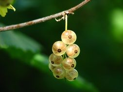 white currant on a branch
