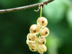 currant berries on a branch