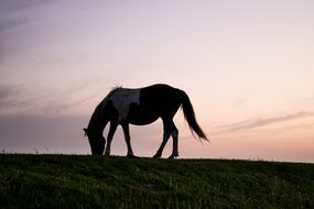 horse grazing on a hill at the sunset