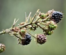 berries on a branch in the wildlife