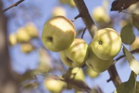 ripening apples in autumn
