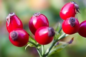rose hip canina fruit red