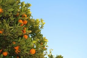 tropical tangerine tree against blue sky