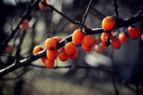 nature, branch, fruits,berries