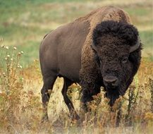 big buffalo in the wildlife