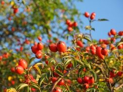 rose hip fruit red wild plant