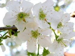 white cherry flowers with yellow stamens