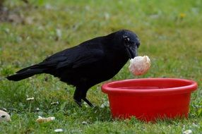 crow near a red bowl