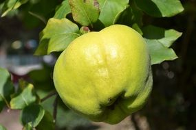green quince tree