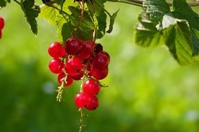 tasty ripe red currants in summer