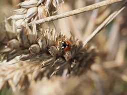 small red ladybug on the wheat