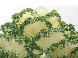 white leaves of ornamental cabbage