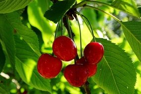 cherries morello
