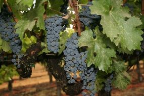 napa valley wine grapes california