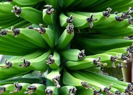 bananas on a bush