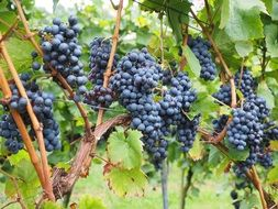 grapes berries wine blue