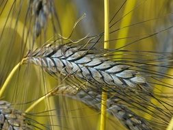 emmer, wheat with bearded ears and spikelets that each contain two grains