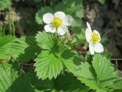 blossom of wild strawberries close-up on blurred background
