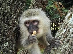 cute vervet monkey
